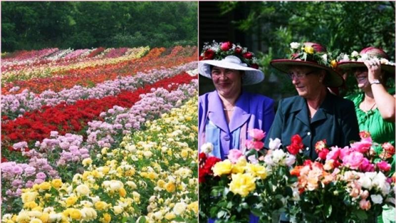 Trandafirii- afacere, poveste si sarbatoare: Zestrea binecuvantata a unui sat din Ardeal